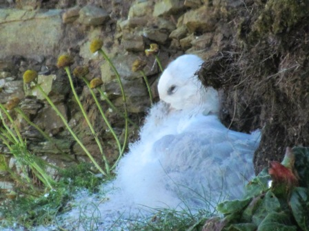 Fluffy fulmar chick